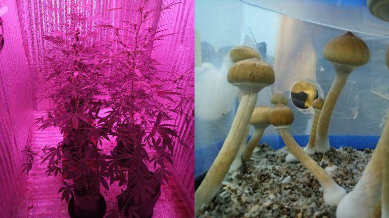 Les encontraron marihuana y hongos alucinógenos en su casa