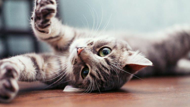 Un gato es viral en Twitter por su peculiar manera de