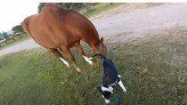 amor animal: perro aprendio a pasear a su caballo y se viralizo