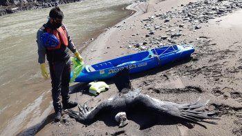 Tres cóndores murieron envenenados en el norte neuquino