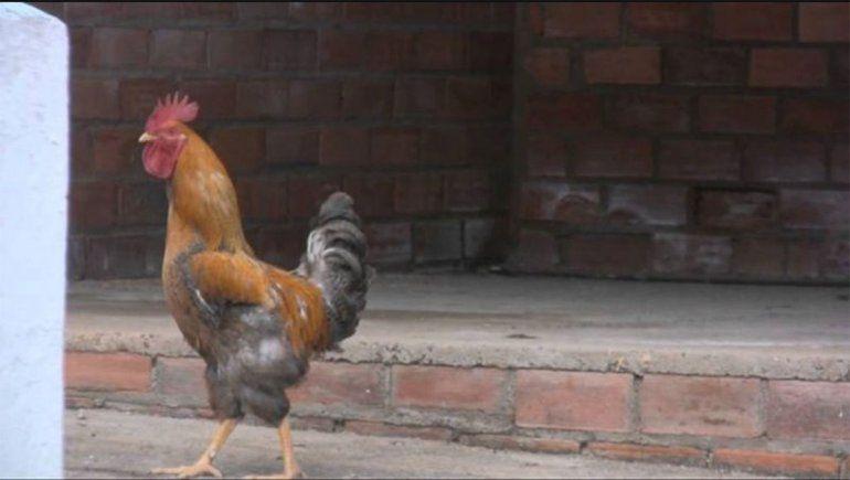 Multaron a un hombre con 40 mil pesos por el canto de su gallo
