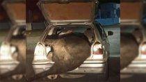 volco un camion con ganado y se llevo una vaca en el baul