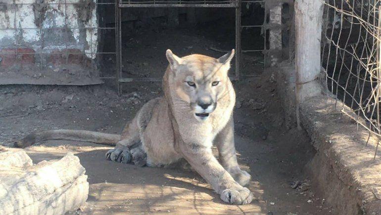 El puma Pancho será trasladado a un refugio en Cipolletti
