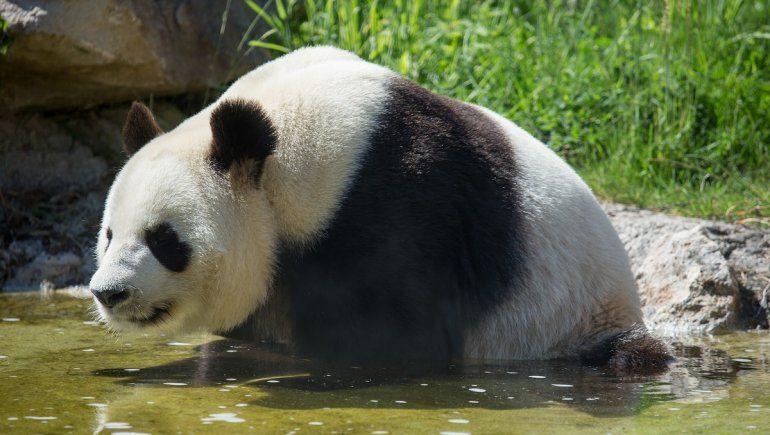 Twitter: panda es viral por cómo se relaja en el agua