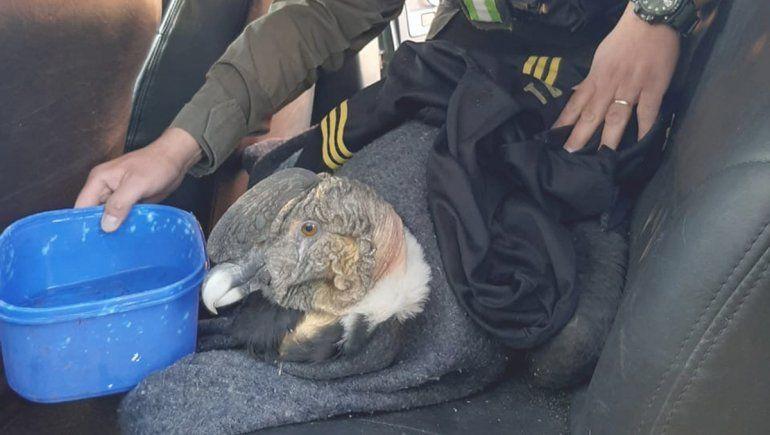 Gendarmería rescató un cóndor andino que estaba en la ruta