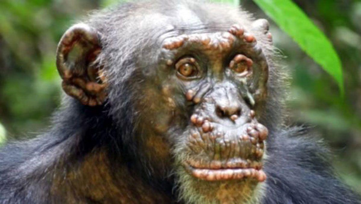 por primera vez, detectaron lepra en chimpances salvajes