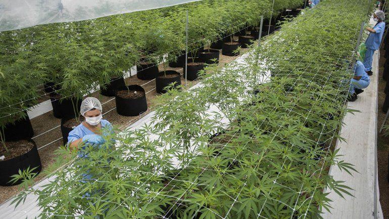 Por qué el gobierno nacional apuesta a la industria del cannabis