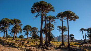 Una ONG suiza otorgará USD 200 mil para preservar el Pewen