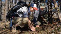 plantaron otras 3.000 araucarias para recuperar los bosques quemados