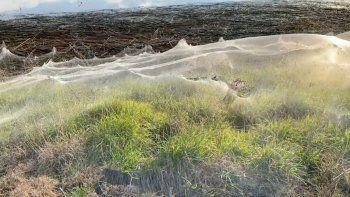 Viral: un sorprendente manto de telarañas cubre los campos de una región.