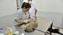 en un ano y medio se castraron a 17.442 animales en neuquen