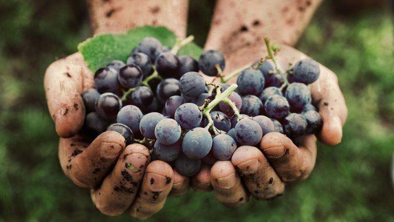 Al rescate de uvas italianas en Argentina
