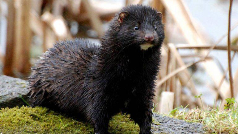 Detectaron el primer caso de COVID en un animal salvaje