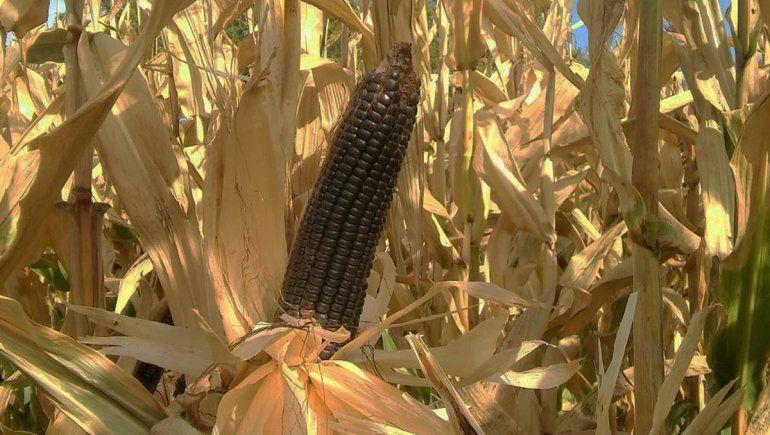 La UNCo creó una variedad de maíz que se adapta al Valle