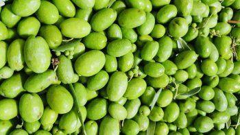 cosecha de aceitunas en rincon de los sauces