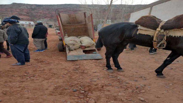 Perros sueltos: culpan a vecinos irresponsables por la matanza de ovejas en Añelo