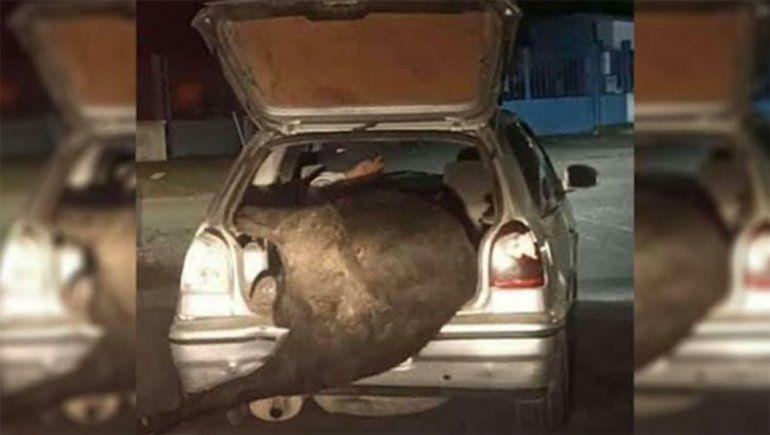 Volcó un camión con ganado y se llevó una vaca en el baúl