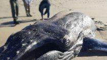 mar del plata: aparecio una ballena jorobaba muerta en la orilla