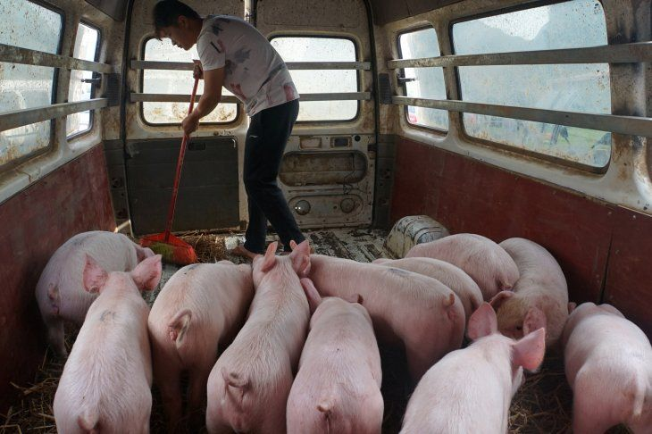FOTO DE ARCHIVO: Un hombre barre junto a cerdos mantenidos temporalmente dentro de un vehículo en Baise