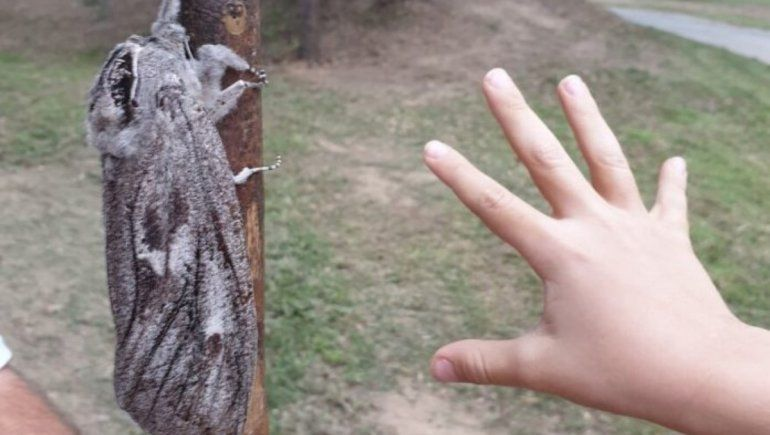 Facebook: una mujer fotografió a una polilla gigante