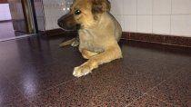 teo, el perro que espera por su dueno en los pasillos del hospital