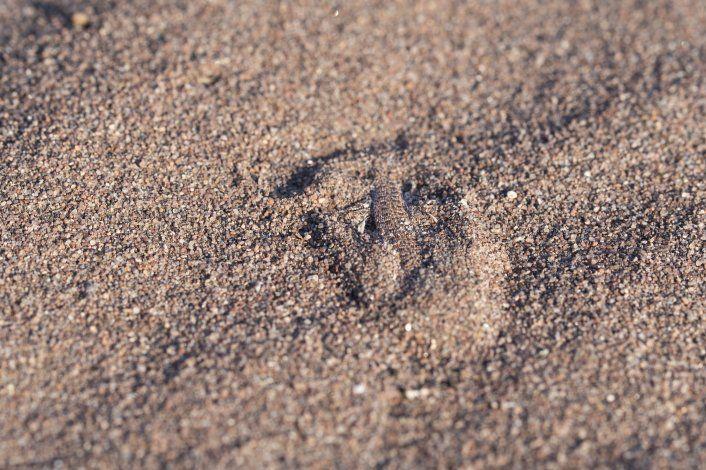 Liolaemus cuyumhue escondida en la arena.