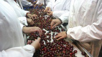 El Chañar: por una falla en internet, se para la exportación de cerezas