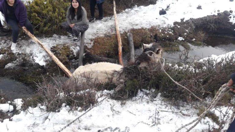 Villa Pehuenia: salvaron a una yegua de morir de hipotermia