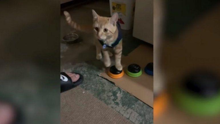 YouTube: gatito aprende a hablar e insulta a sus dueños y se hace viral.