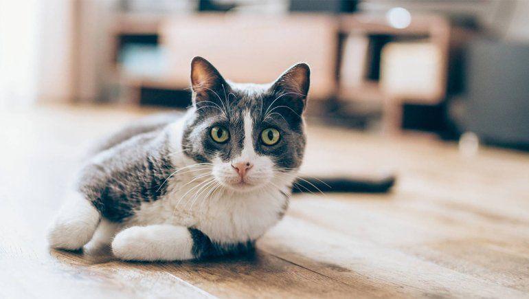 Los gatos son propensos a contraer coronavirus   Imagen referencial
