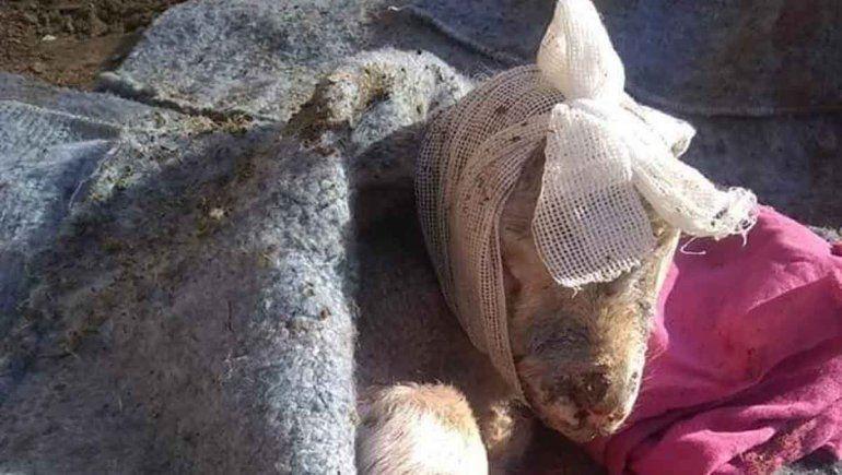 Perros sueltos mutilaron los animales de la EPEA 1 de Las Ovejas