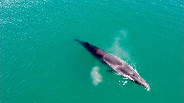 La ballena sei que apareció y el agua verde turquesa del golfo San Matías. Foto gentileza Nicolás Cetra.