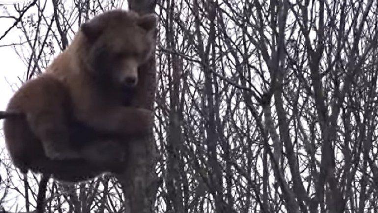 Un oso se trepó en un árbol 18 metros y es viral en YouTube