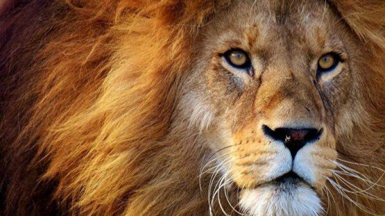 Soñar con leones: conocé qué significa