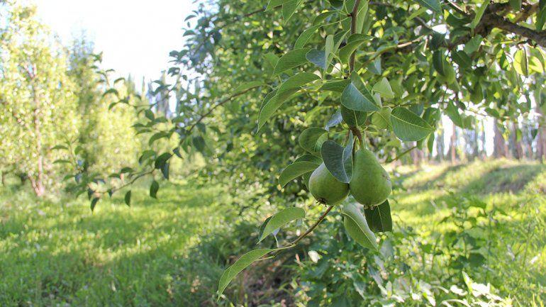 Cuenta regresiva para la cosecha de fruta en el Alto Valle