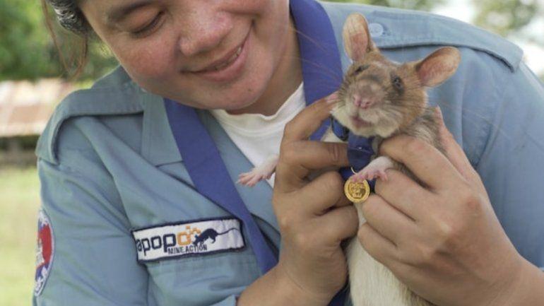 Reino Unido: premiaron a una rata que detecta bombas