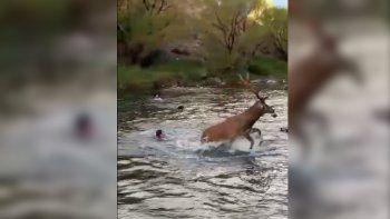 las coloradas: acorralaron a un ciervo con perros y lo mataron con sana