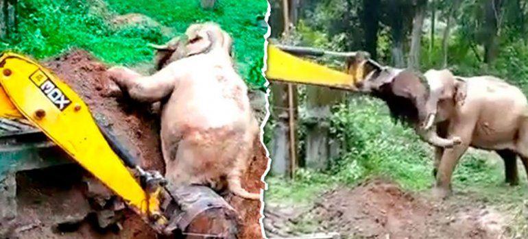 Conmovedor: elefante agradece a excavadora que lo rescató