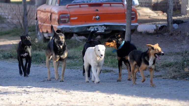 En la ciudad de Neuquén hay 10 mil perros sueltos en las calles: la mayoría tiene dueño