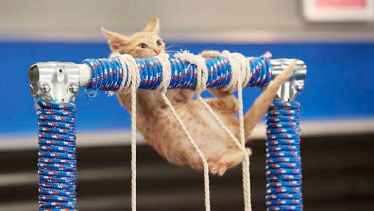 Un gato se volvió viral en TikTok al ver el desempeño de un gimnasta olímpico. | Foto referencial.