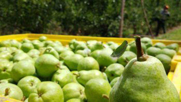 Las peras maduras y en marcha: arranca la cosecha, se espera buena calidad y un volumen inferior