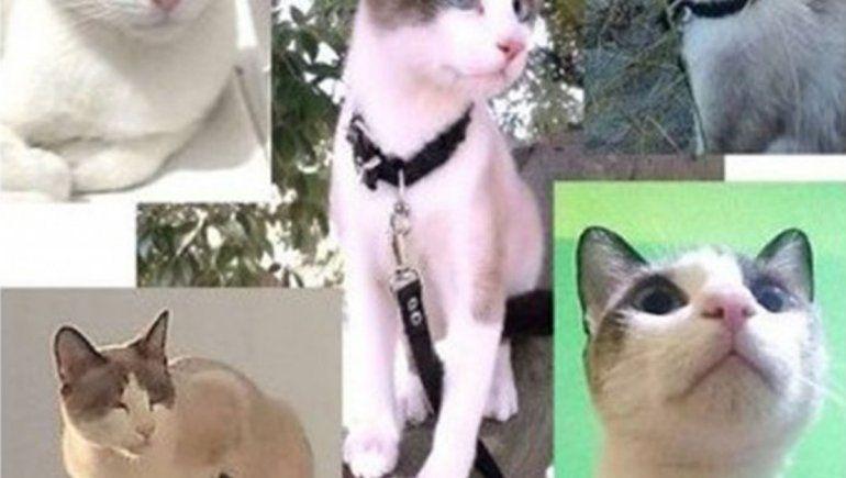 Su gato se extravió y ofrece 30 mil pesos de recompensa