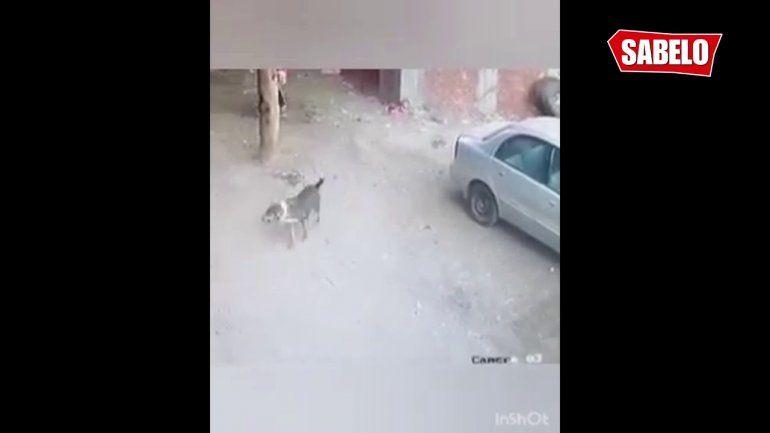 Gato héroe le salvó la vida a un niño atacado por un perro