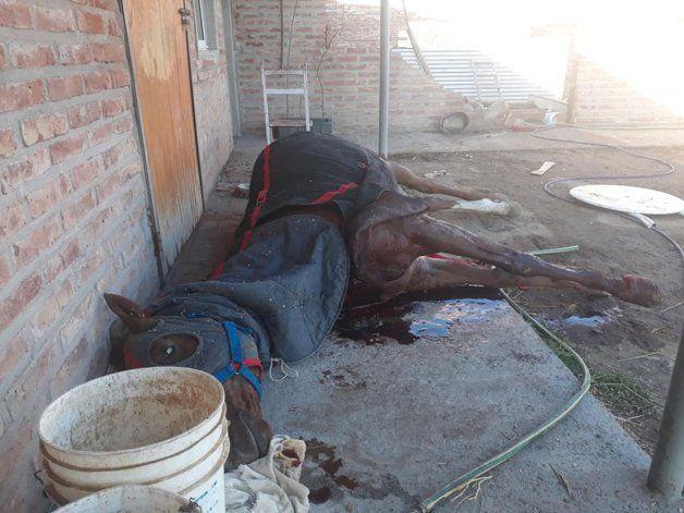 Uno de los caballos que mataron los delincuentes quedó tendido fuera del box.