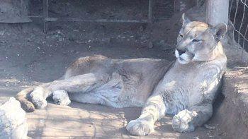 cerro el refugio luan y el puma pancho sigue esperando su traslado