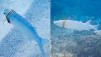 Viral: perdió su anillo de boda y apareció encajado en un pez.