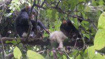 avistan a chimpance albino y a los dias su grupo lo asesino