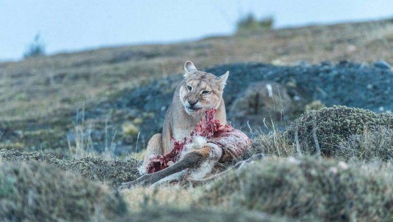 Si no mato, no puedo comer ni laburar, la historia de los crianceros que luchan contra los pumas