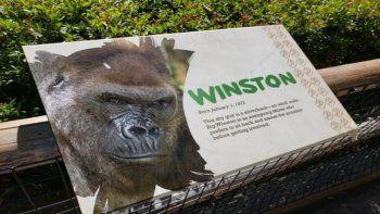 Gorila se recupera del coronavirus gracias a terapia con anticuerpos