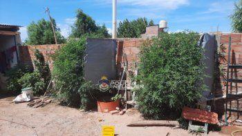 La Policía secuestró plantas de marihuana de una vivienda de Plottier.